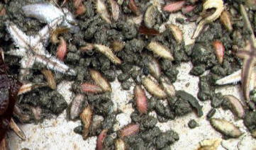広島湾で底引きした際に取れたウミケムシ